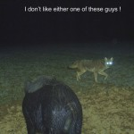 Hog-Coyote