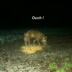 Hog swollen rear